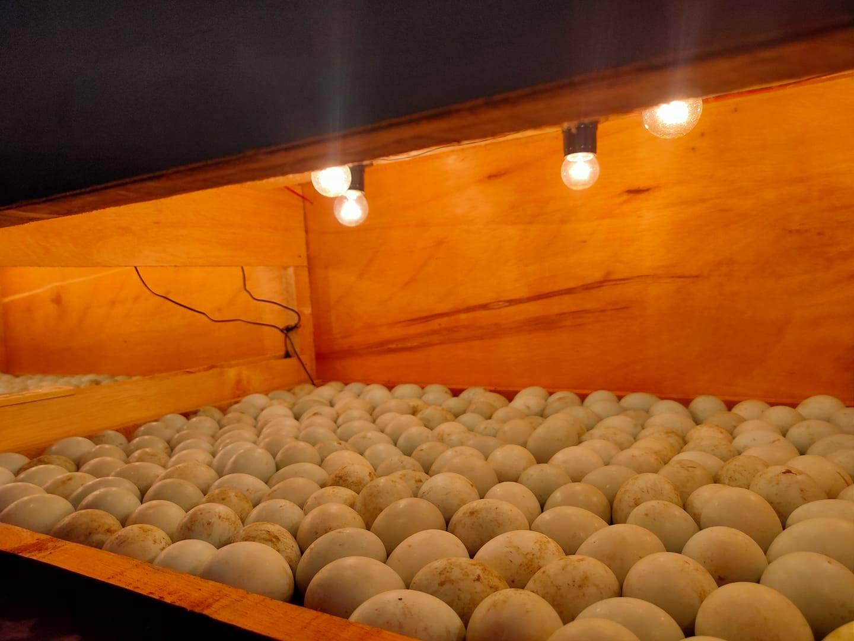 Salah satu contoh mesin penetas yang telah diisi telur bebek   image 5