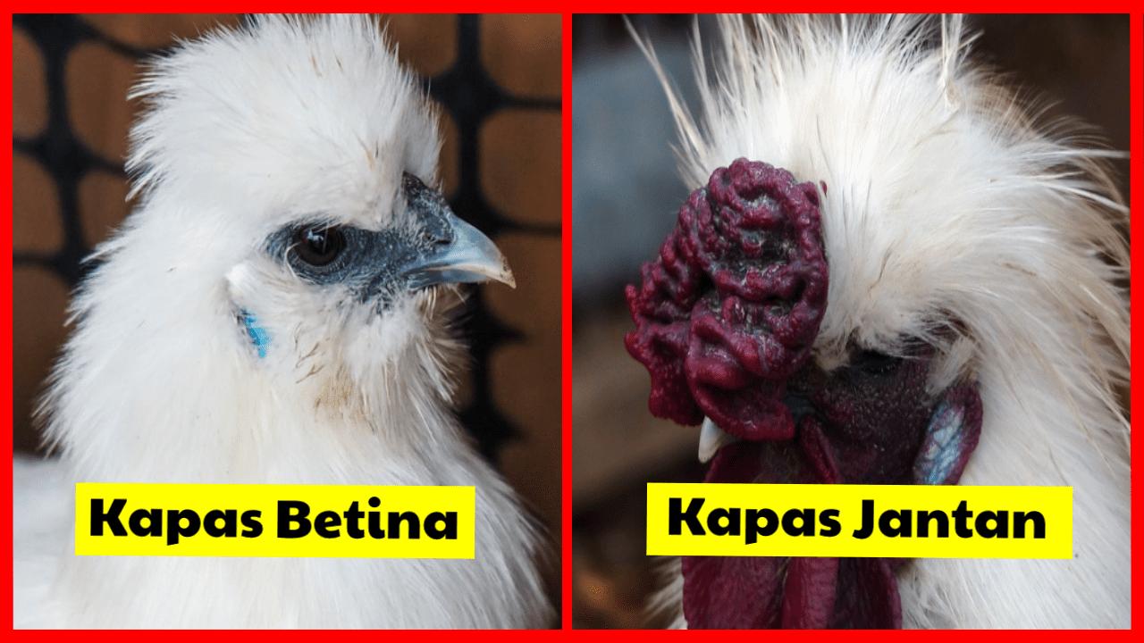Lihat bedanya ayam kapas betina dan jantan   image 3