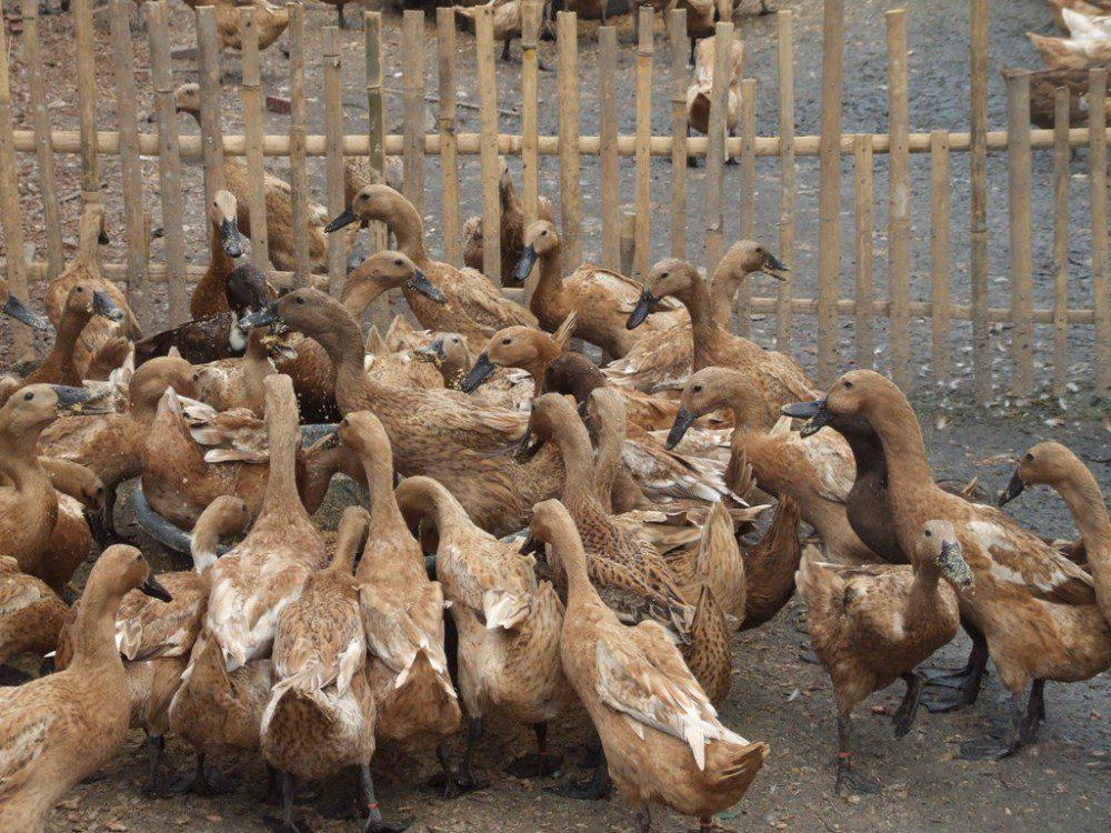 Produktivitas bebek mojosari tidak perlu diragukan lagi. Mas produksi telur bebek mojosari mencapai 200 - 220 butir per ekor dalam setahun. | image 1