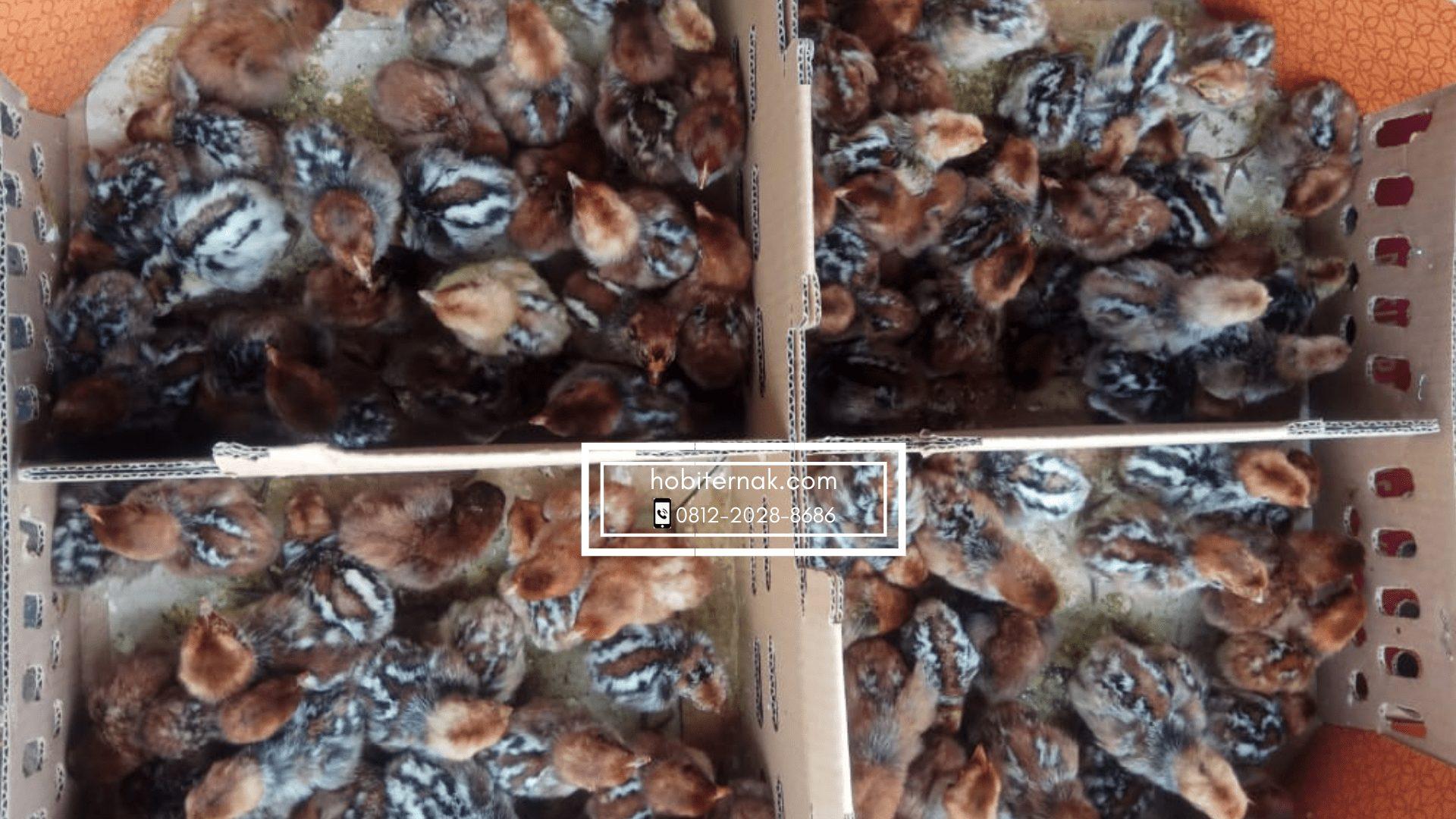 Ini adalah DOC ayam arab hobiternak.com yang siap untuk dikirim ke seluruh penjuru Indonesia   Image 3