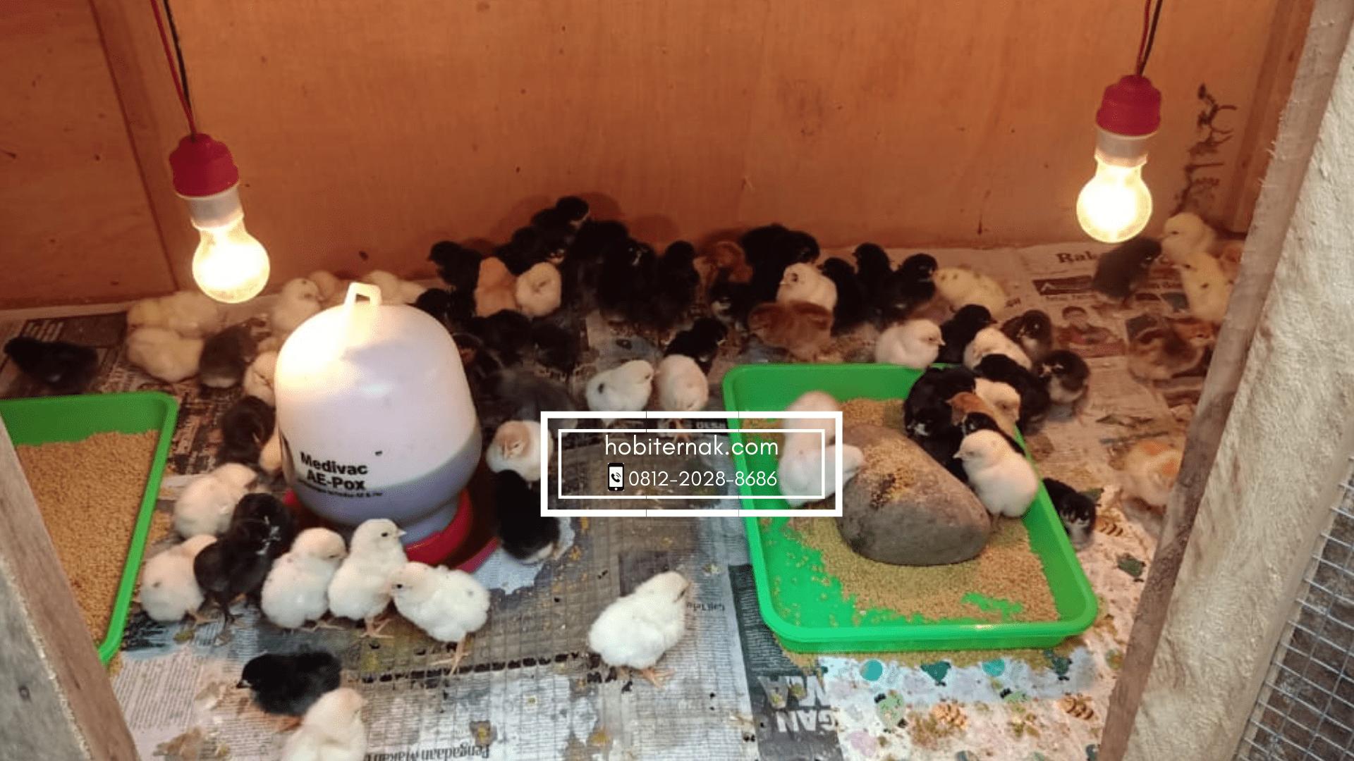 Ketika ayam masih berusia dibawah 3 minggu, maka pemberian pakan bisa kapan saja dan pastikan tempat pakan selalu terisi. | Image 2