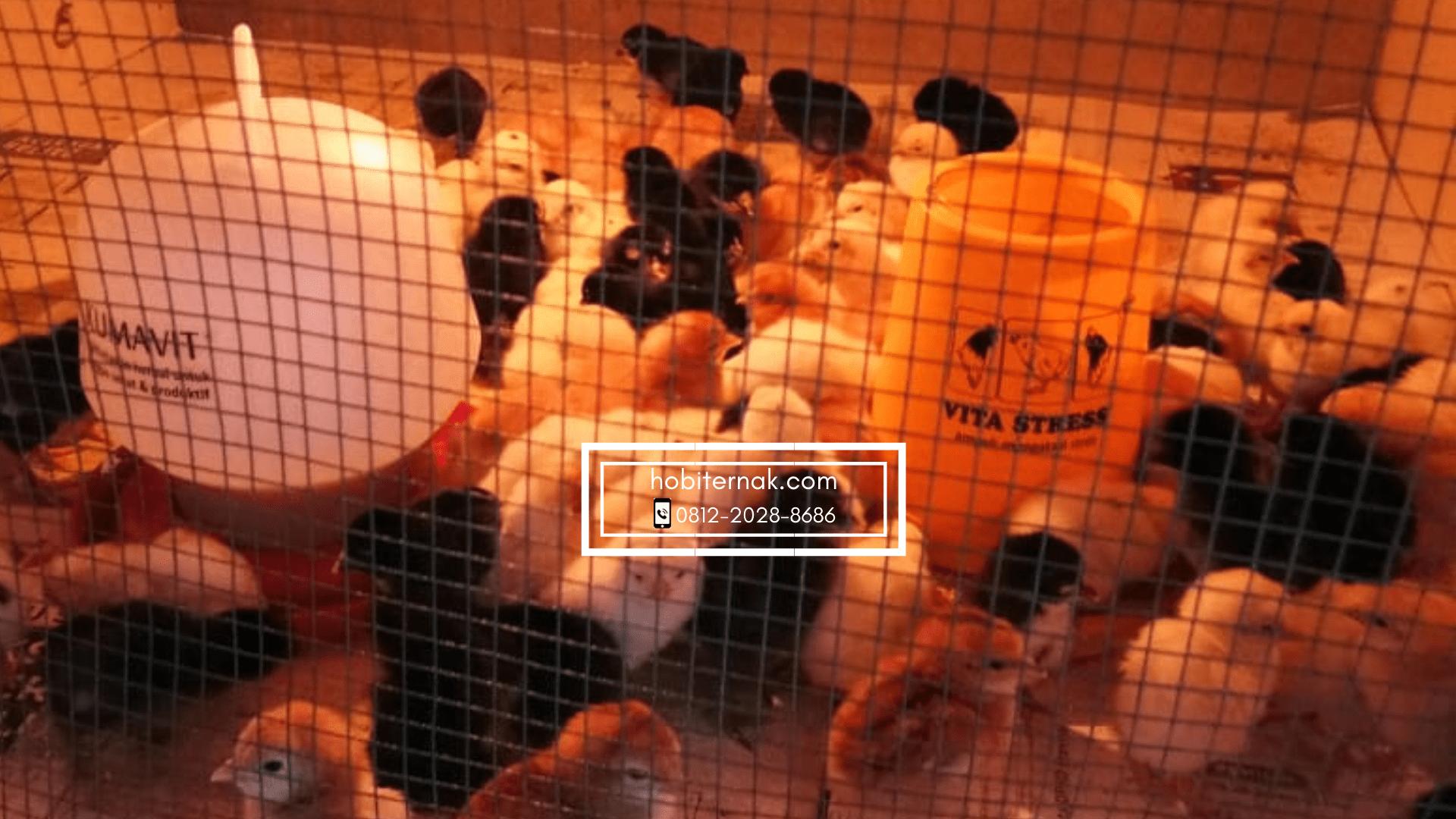 DOC Ayam Kampung Super saat di dalam kandang diberikan lampu penerangan agar DOC selalu dalam keadaan hangat | Image 2