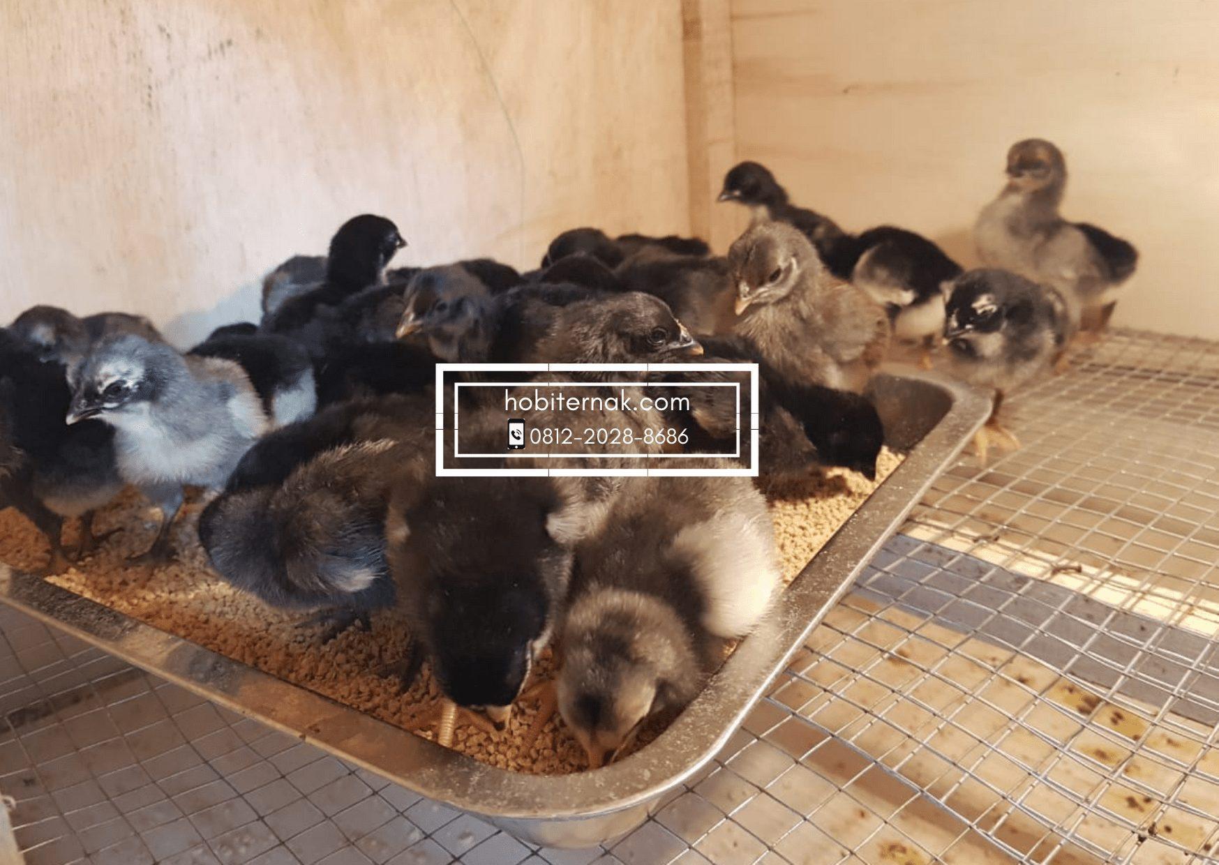 Salah satu foto ayam KUB saat masih berusia starter dengan diberikan pakan pabrikan | image 3