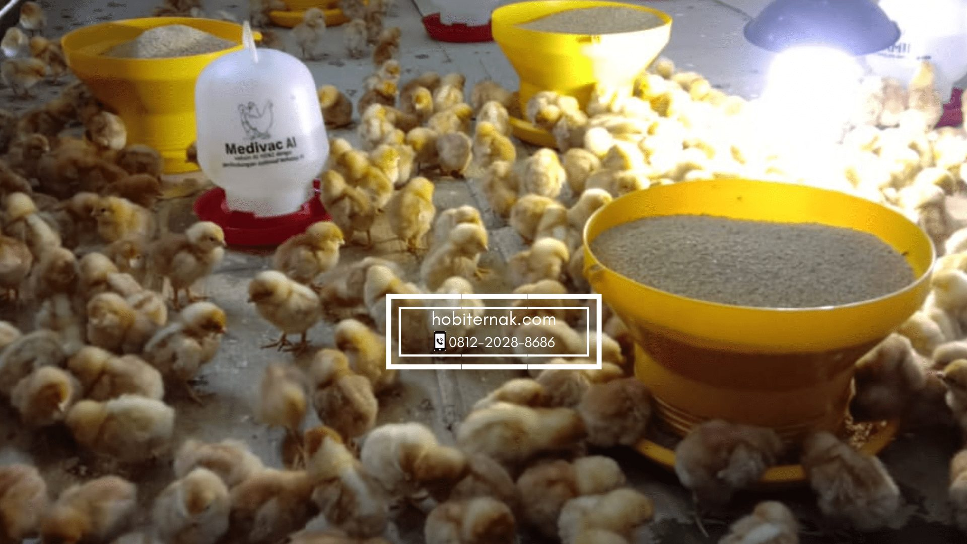 Untuk memulai beternak ayam petelur bisa di mulai dari usia anakan atau DOC