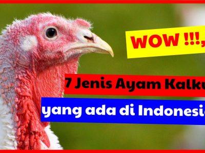 Daftar lengkap 7 Jenis ayam kalkun