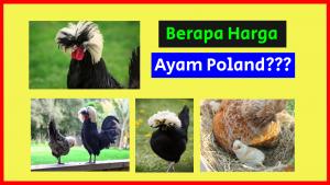Jual Ayam Poland HOBI TERNAK Harga Anakan Ayam Poland word2