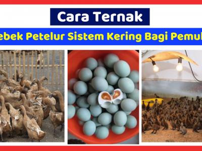 Ternak bebek petelur lahan kering atau sistem kering baik untuk diterapkan demi menunjang produktivitas bebek.