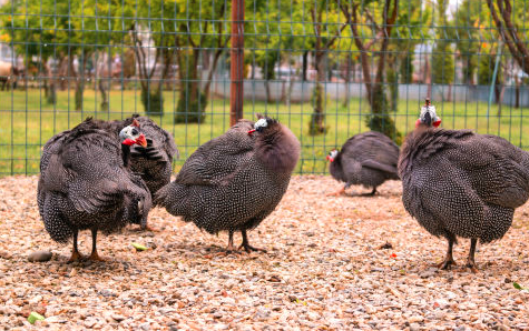 Berikut merupakan contoh kandang ayam mutiara yang cocok untuk diterapkan