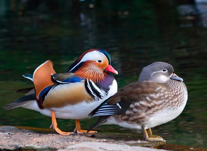Antara jantan dan betina, bebek mandarin jantan memang memiliki warna bulu yang lebih mencolok, sedangkan yang betina warna bulunya lebih pudar