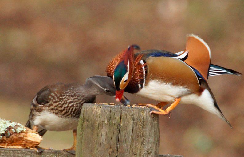 Biji-bijian adalah salah satu makanan yang sering bebek mandarin makan