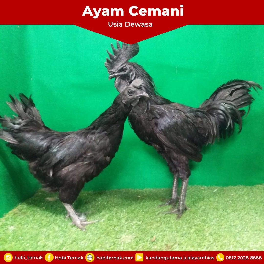 Ayam Cemani Usia Dewasa