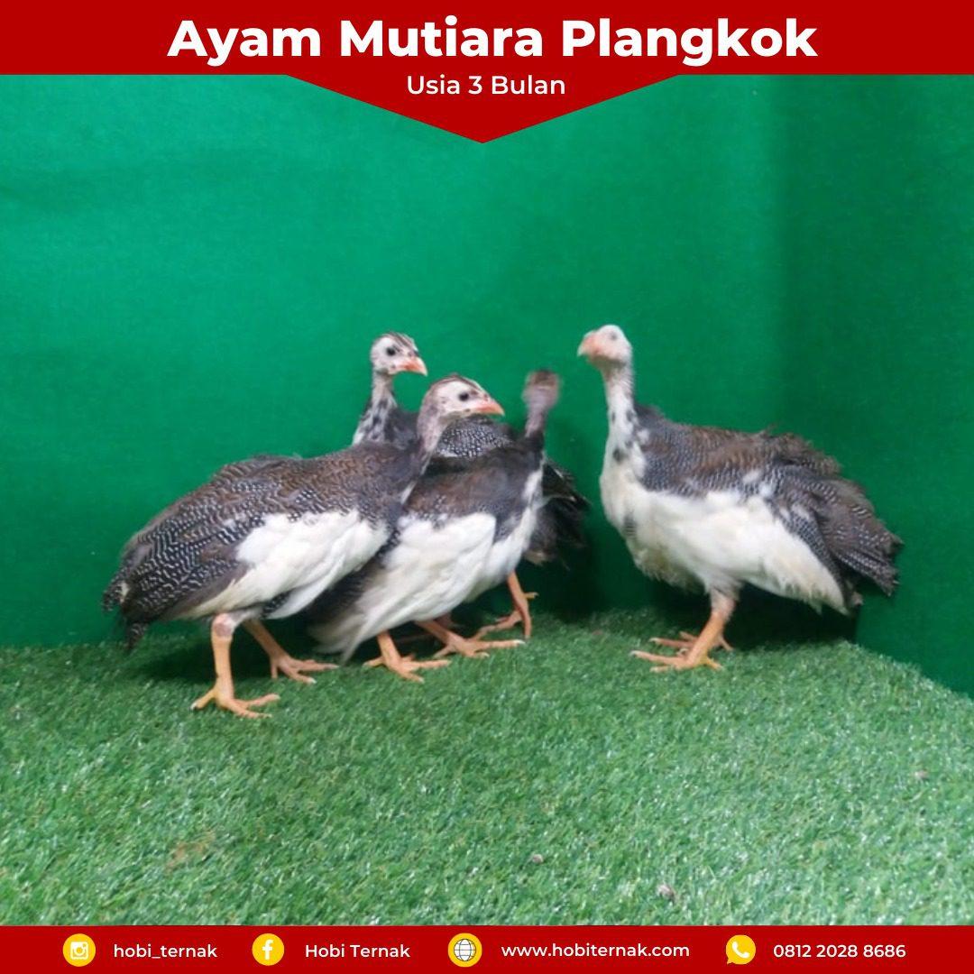 Ayam Mutiara Plangkok Usia 3 Bulan