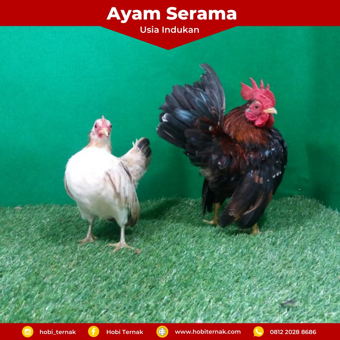 Serama chicken has a small size compared to other types of chicken, but the price of serama chicken is quite high.