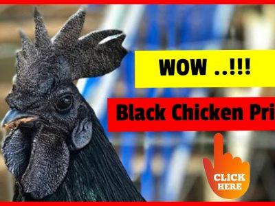 Black Chicken Price Find Different Prices Of Different Species Of Black Chicken In The World