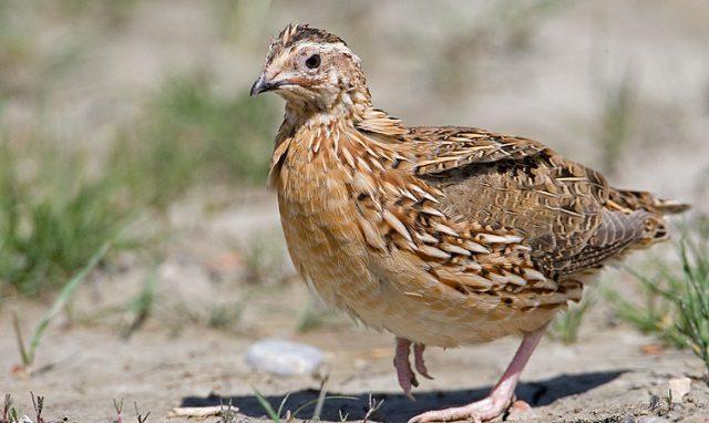 Burung puyuh yaitu salah satu jenis burung yang memiliki produktivitas telur yang cukup banyak