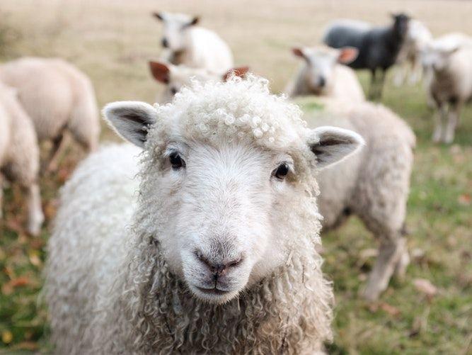 Domba Merino HOBI TERNAK harga kambing garut word1