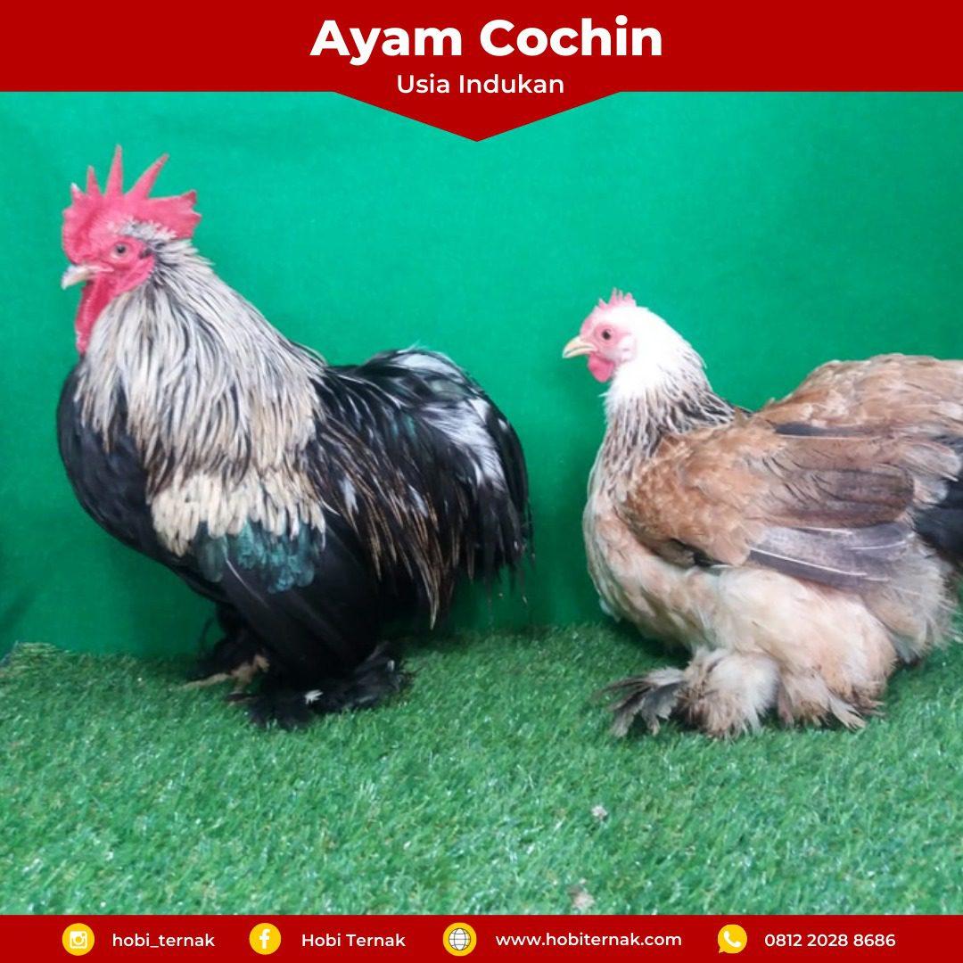 Indukan Ayam Cochin