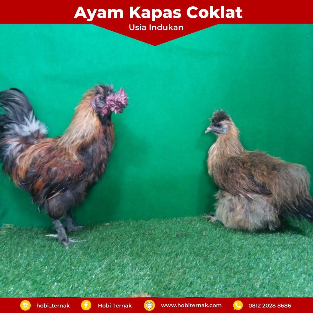 Indukan Ayam Kapas Coklat