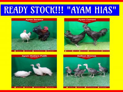 Ready stock ayam hias 2 HOBI TERNAK ready stock ayam hias word2