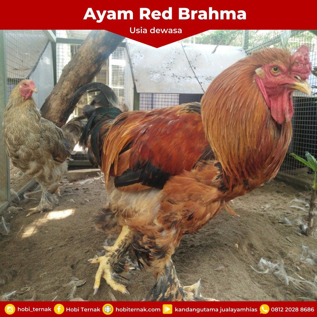 Red Brahma Usia Dewasa