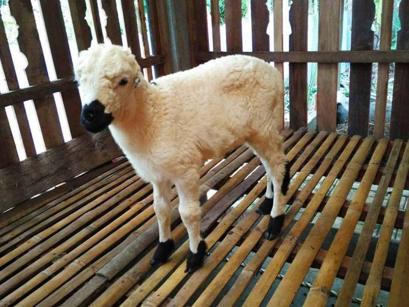 anakan Kambing DOMBA arut HOBI TERNAK harga kambing garut word1