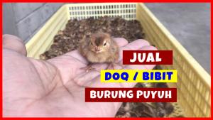 BURUNG PUYUH HOBI TERNAK jual burung puyuh word3