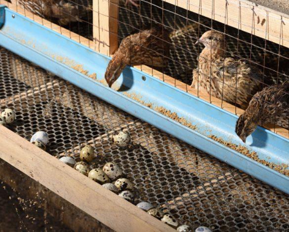 Beternak burung puyuh juga tidak memakan terlalu banyak lahan karena kandangnya tidak sebesar kandang ayam.