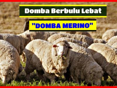 Domba Merino 1 HOBI TERNAK domba merino word3