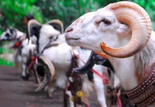 Dalam memasarkan domba garut, bisa di jual di pasar atau di pengepul