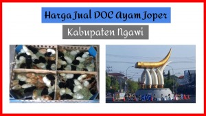 Harga Jual DOC Ayam Joper Ngawi