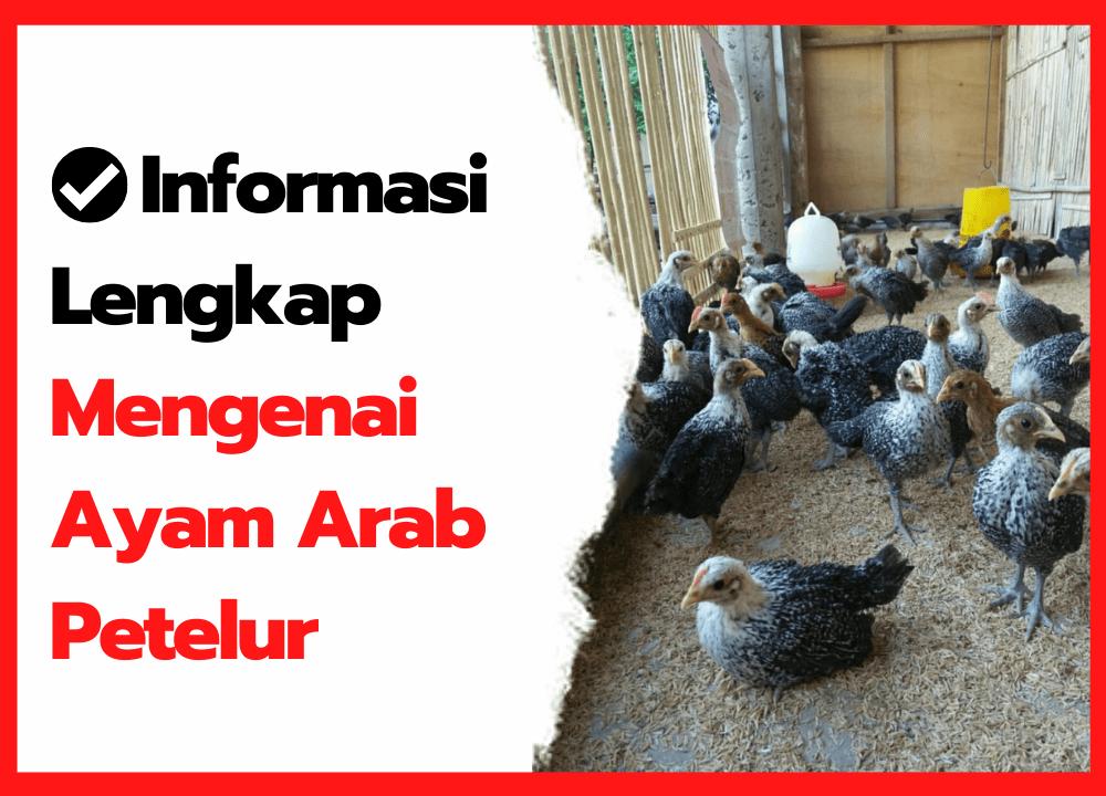 Informasi Lengkap Mengenai Ayam Arab | thumbnail
