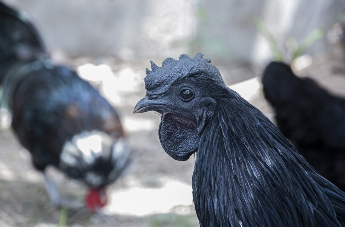 The other black chicken is Kadaknath chicken who come from India. Kadaknath chicken also have black meat which rich of nutrients.