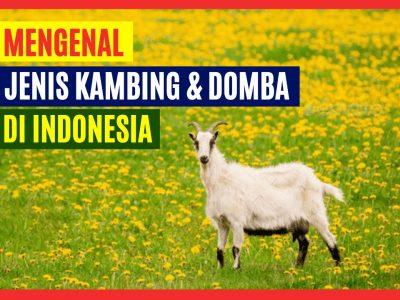 5 Jenis Kambing dan Domba yang Terkenal di Indonesia