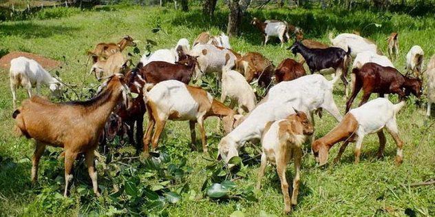 Beternak kambing bisa menjadi salah satu usaha yang menjanjikan dan menguntungkan