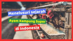 Kandang Ternak JOPER 1 HOBI TERNAK Sejarah Ayam Kampung Super word2