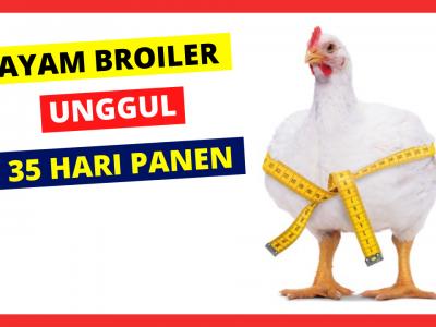 Ayam Broiler memiliki pertumbuhan daging yang cepat serta masa panen yang cepat pula