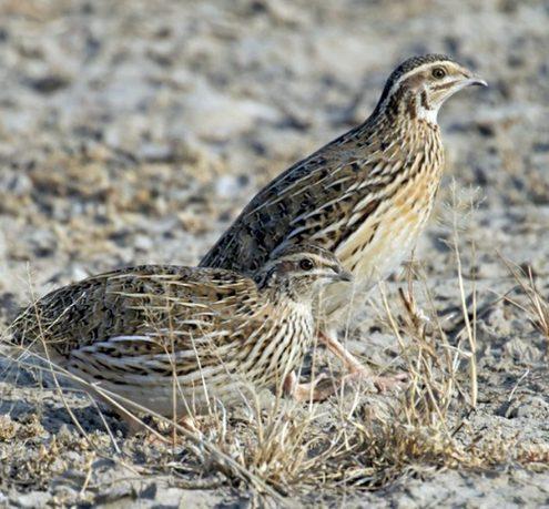 Ternak burung puyuh ini cocok bagi para pemula karena relatif mudah dalam perawatannya.
