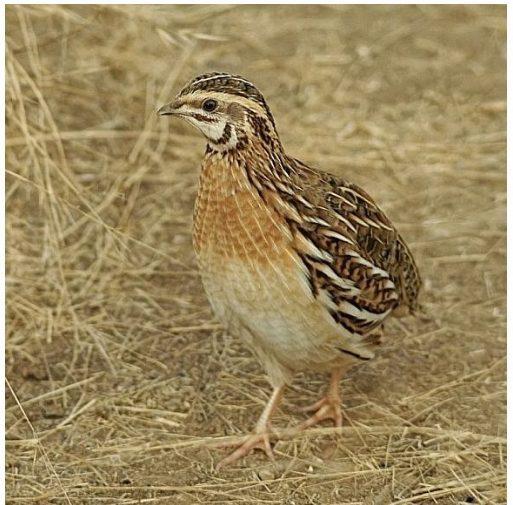 Puyuh termasuk ke dalam kelas Aves, ordo Galiformes, Famili Phasianidae dan Genus Conturnix