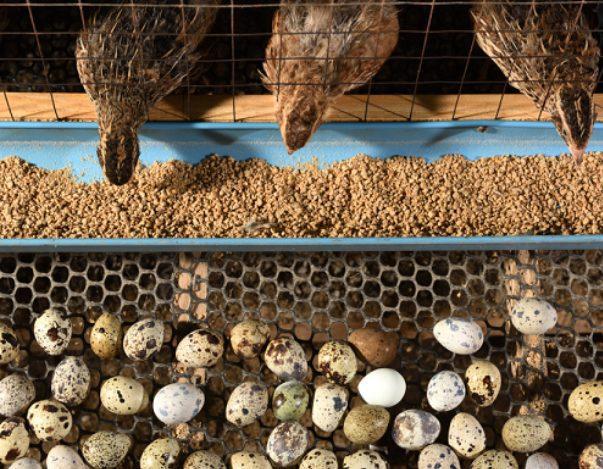Burung puyuh dapat menghasilkan telur yang banyak