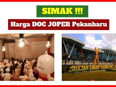 Harga Jual DOC atau Bibit Ayam Kampung Super (JOPER) untuk Daerah Pekanbaru Riau
