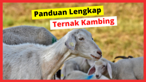 thumbnail HOBI TERNAK cara ternak kambing modern word3