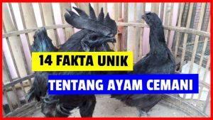 Ayam Cemani ternyata memiliki keunikan - keunikan yang tidak dimiliki oleh jenis ayam pada umumnya