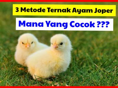 3 Metode Ternak Ayam Kampung yaitu tradisional, semi intensif dan intensif
