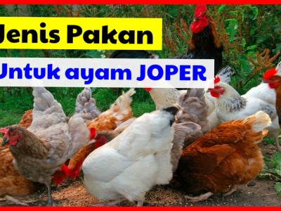 7 Jenis Pakan untuk ayam joper