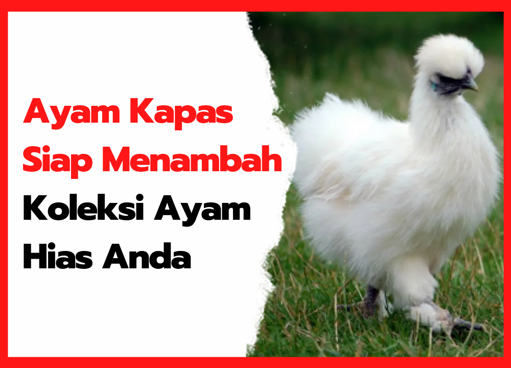 Ayam Kapas Siap Menambah Koleksi Ayam Hias Anda   cover