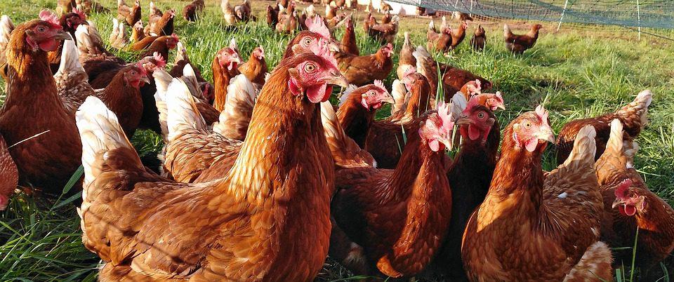 Dalam beternak ayam petelur Anda harus menyiapkan segala sesuatu yang menyangkut pada saat beternak salah satunya yang penting yaitu modal