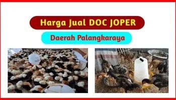 Harga Jual DOC Ayam Joper untuk Daerah Palangkaraya