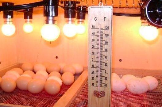 Suhu pada mesin penetas HOBI TERNAK mesin penetas telur ayam word3