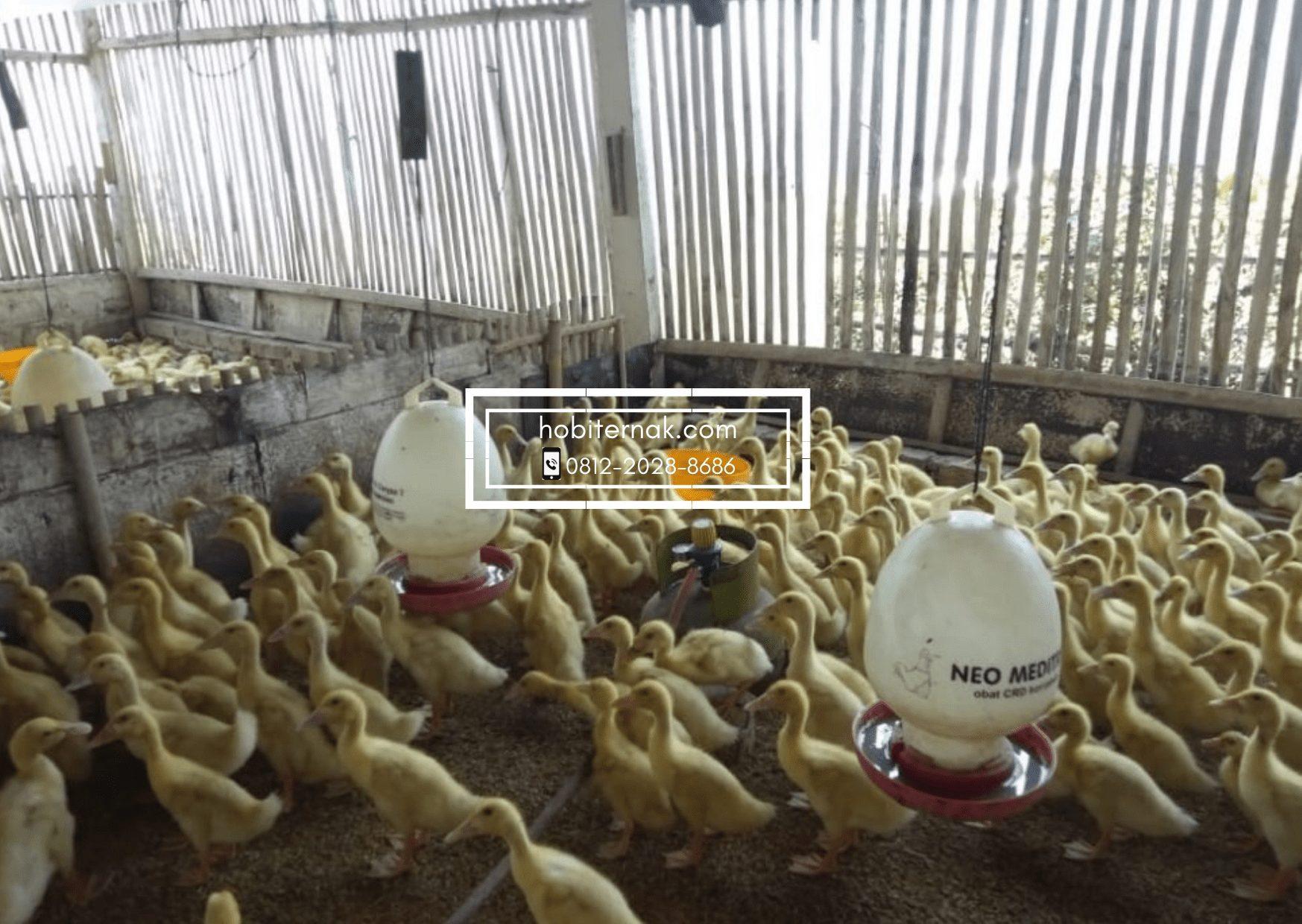 Beternak bebek peking bisa menjadi alternatif usaha untuk menambah penghasilan | Gambar 3