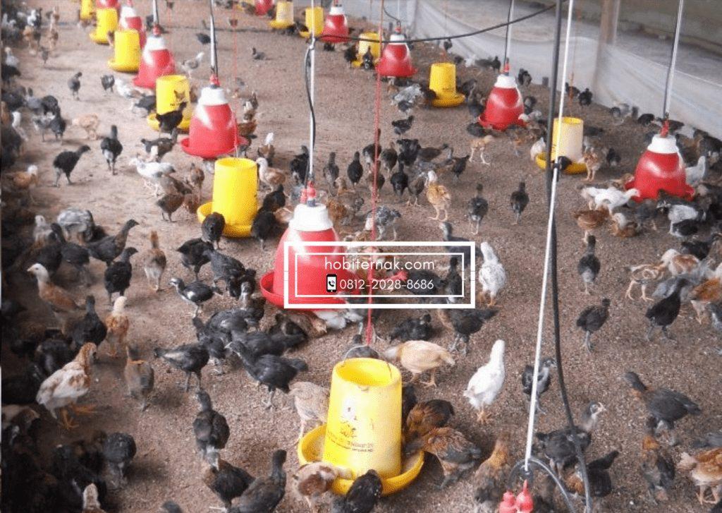 Dengan manajemen pemberian pakan yang baik, maka ayam joper dapat tumbuh dengan bobot maksimal. | Image 1